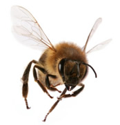 Aerodinamicamente hablando la abeja no tendría por qué volar el problema es que Ella no lo sabe.